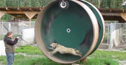A Husky in a Slightly Different Hamster Wheel!