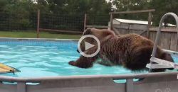 It's So Funny How This Bear Jumps Into the Pool