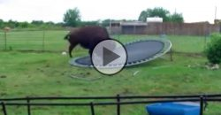What Does a Buffalo On a Trampoline?